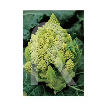 CAULIFLOWER ROMANESCO...