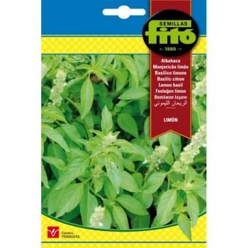 LARGE GREEN BASIL4GR. SUPERBOL